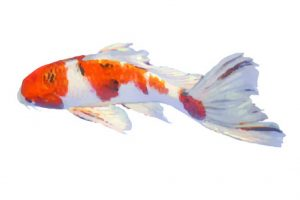 koi for aquaponics