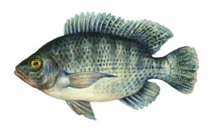 tilapia for aquaponics