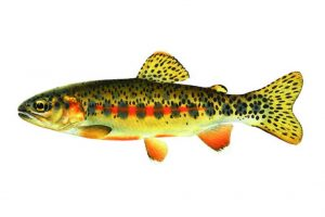 trout for aquaponics