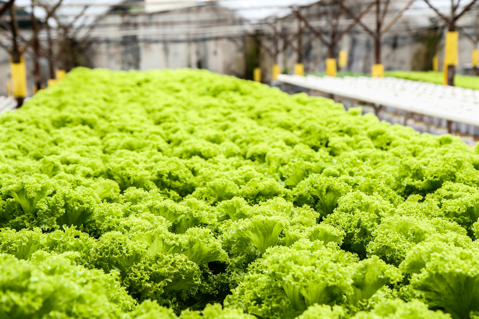 hydroponics yield