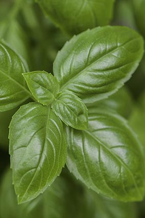 basil for hydroponics