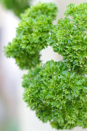 parsley for hydroponics