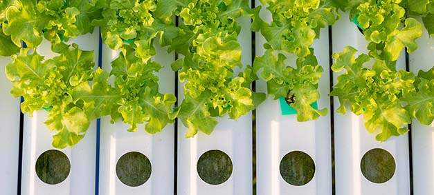 hydroponics system with lettuce growing