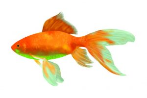 goldfish for aquaponics