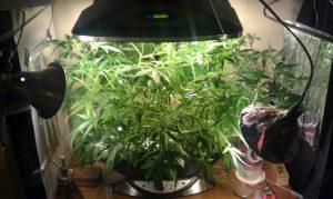 aerogarden marijuana