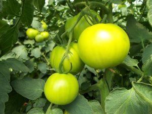 hydroponics tomatoes